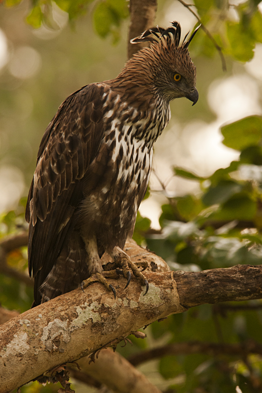 Crested-Hawk-Eagle-1