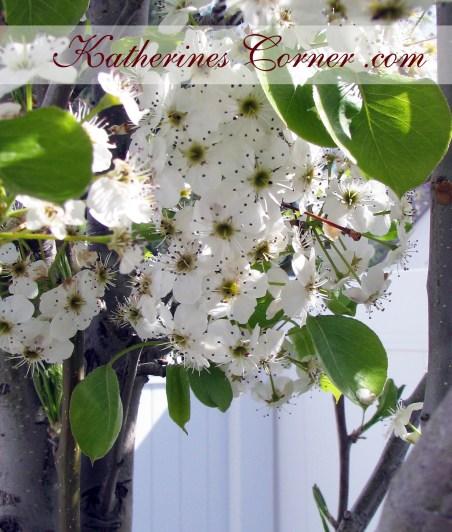 pear tree 2 katherines corner