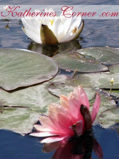water lilies katherines corner