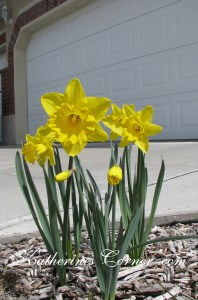daffodils after the storm