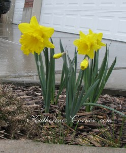 daffodils in snow storm katherines corner