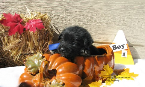 puppies and pumpkins 1