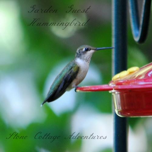 garden-guest-hummingbird