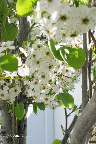 mothers day gift pear tree