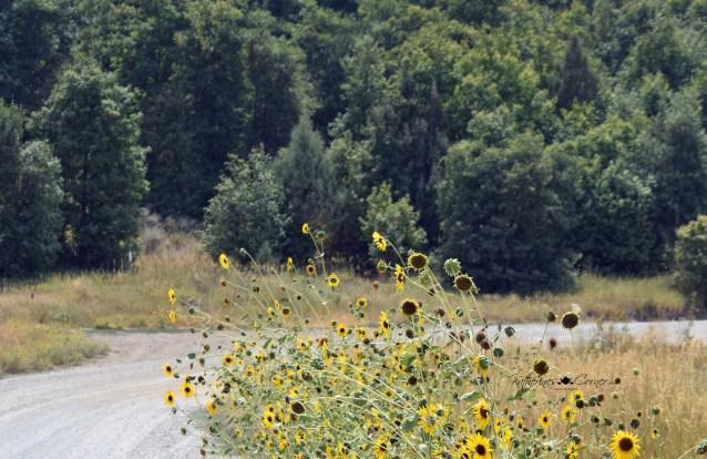 wild sunflowers 3