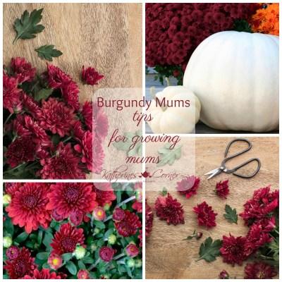 burgundy mums in the garden