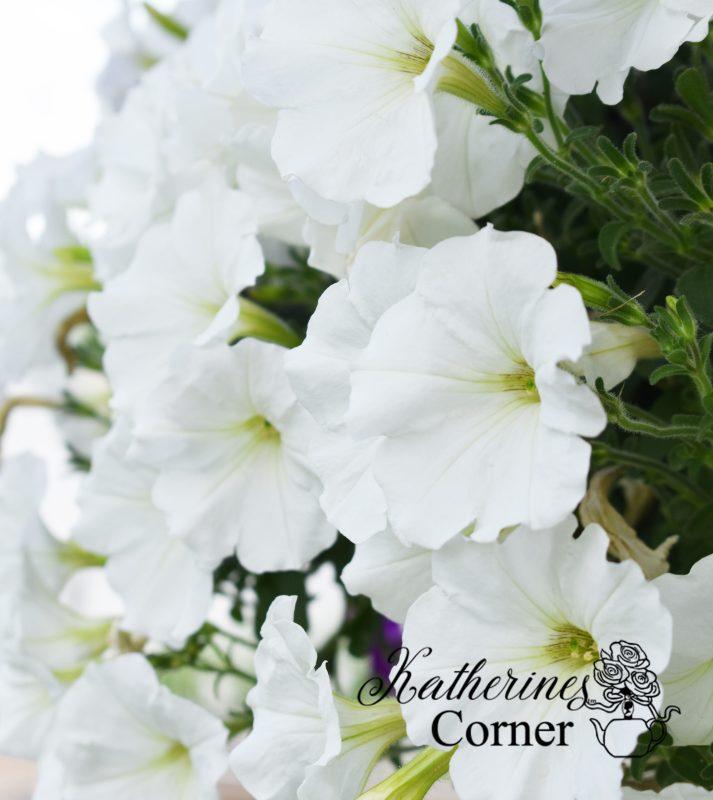 summer white pertunias katherines corner