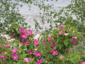 Wild rose season on Devonshire Beach Road