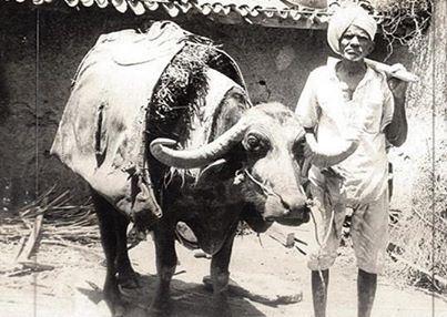Farmer with his buffellow