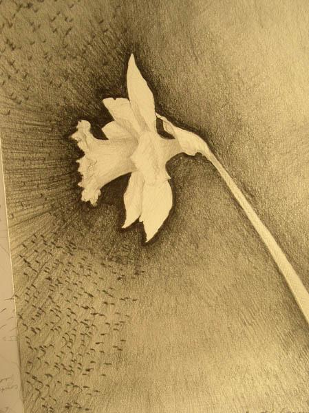 Daffodil drawing by Kathleen O'Brien