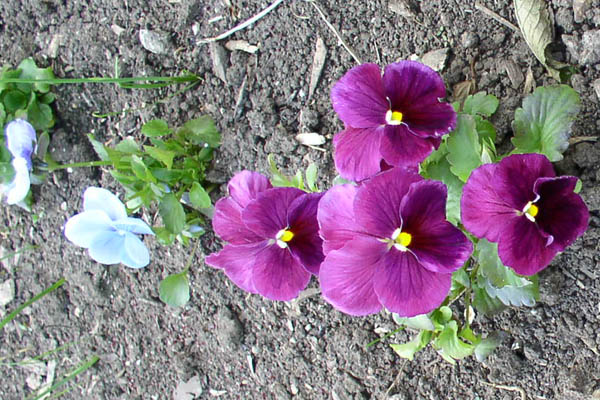 Pansies at Sunwise Farm & Sanctuary by Kathleen O'Brien