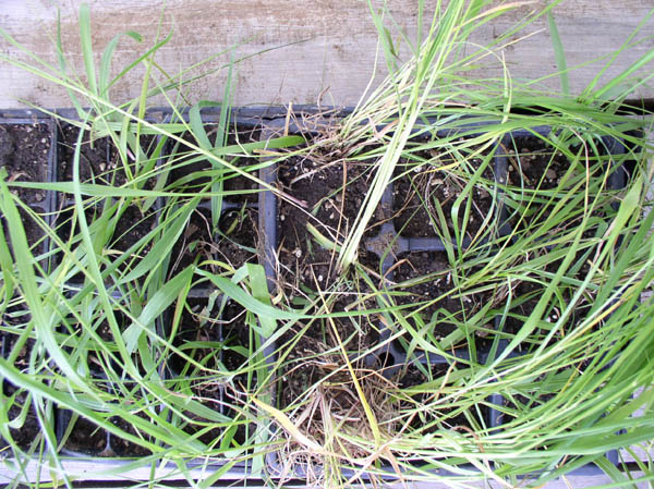Sweetgrass to share from Sunwise Farm & Sanctuary by Kathleen O'Brien