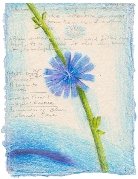 Chicory Flower Essence drawing by Kathleen O'Brien