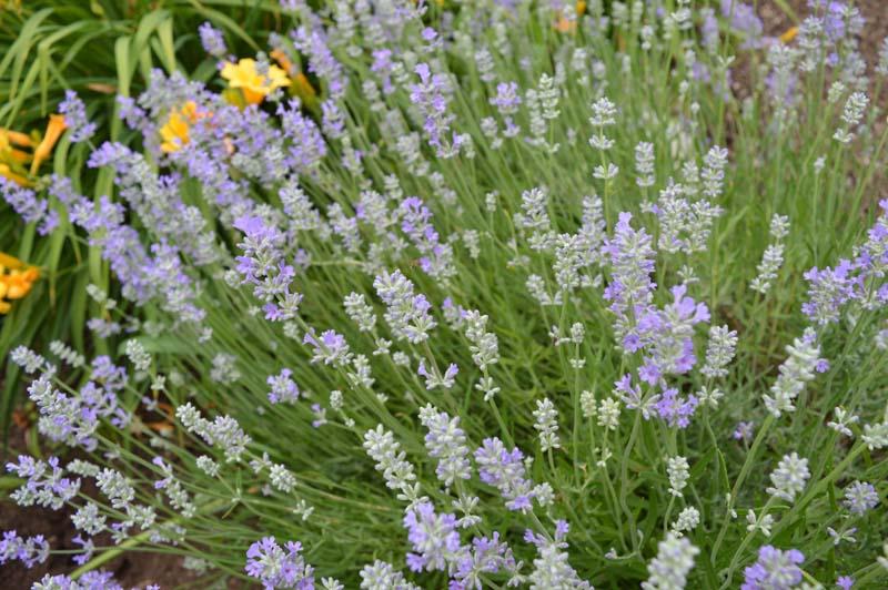 lavender at Sunwise Farm and Sanctuary