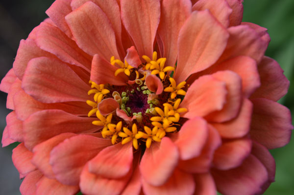 Beloved apricot blush zinnia, 5th generation from Sunwise Farm & Sanctuary