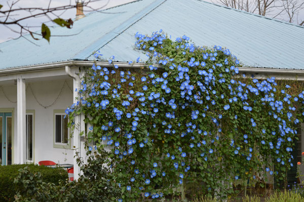 Morning Glory wall on November 5-6