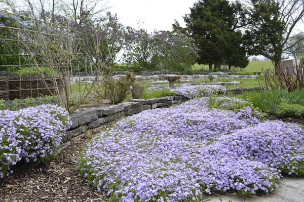 Phlox expansion in the east gardens at Sunwise Farm and Sanctuary