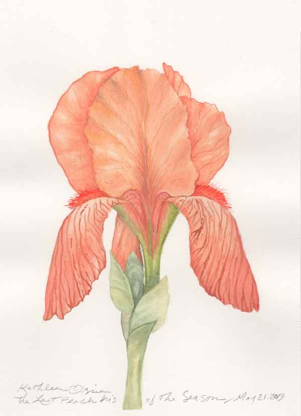 "© Kathleen O'Brien, ""Last Peach Iris of the Season"", gouache, 2019"