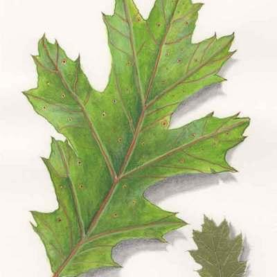 Solstice Oak, © Kathleen O'Brien