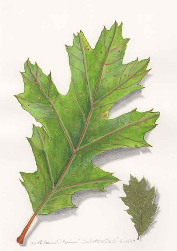 05 Solstice Oak, © Kathleen O'Brien