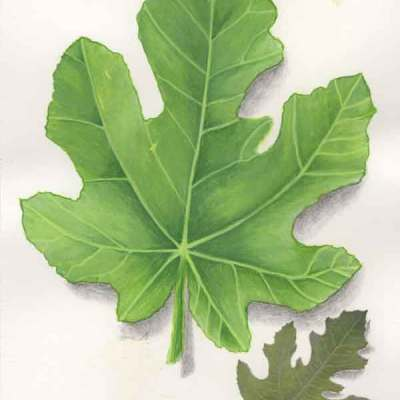 15 Fig Leaf, ©Kathleen O'Brien