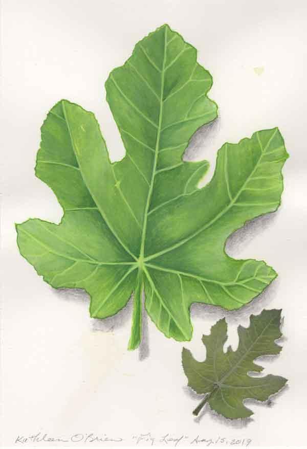15 Fig Leaf, ©Kathleen O'Brien