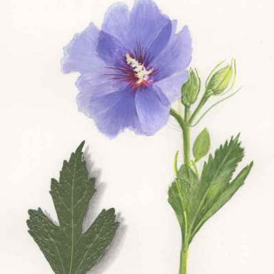 21 Rose of Sharon, ©Kathleen O'Brien