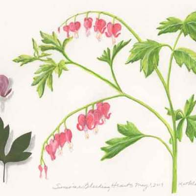 33 Sunwise Bleeding Hearts, ©Kathleen O'Brien