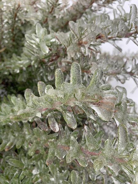 Iced Rosemary, ©Kathleen O'Brien