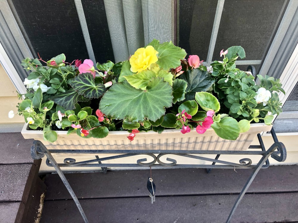 Box planter featuring yellow and pink begonias.