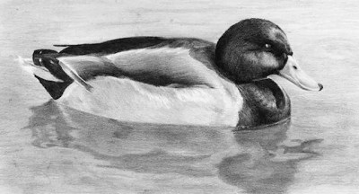 Duck, graphite sketch, Kathrin Guenther, web file