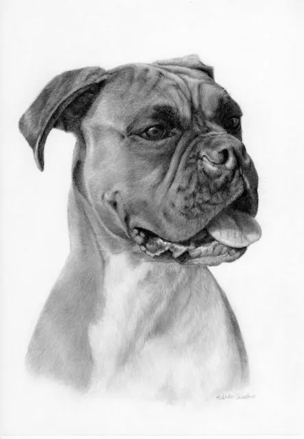 graphite pet portrait, Sash, a Boxer drawing by Kathrin Guenther, graphite, dog, canine, art