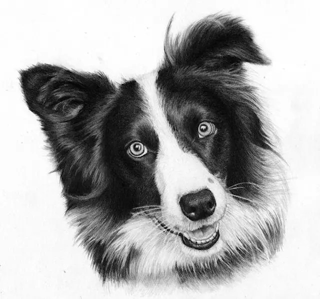 graphite pet portrait, Amber, a Sheepdog drawing by Kathrin Guenther, graphite, art
