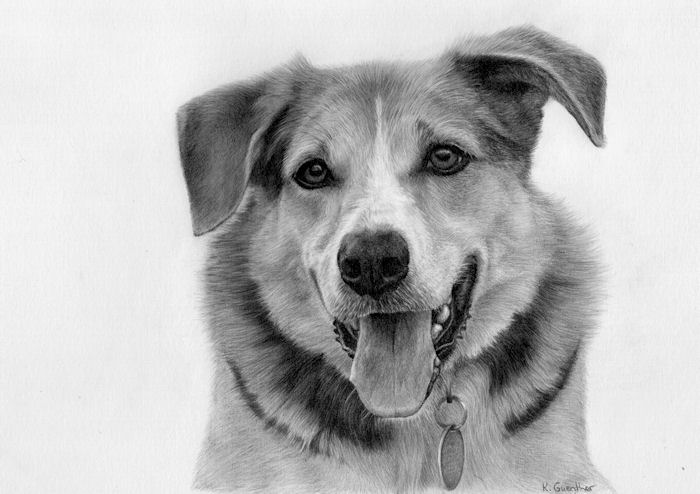 Pet drawing by Kathrin Guenther,dog, canine, graphite art