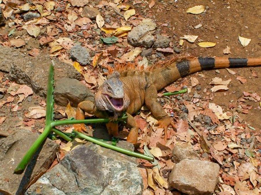 Iguana Farm in roatan honduars