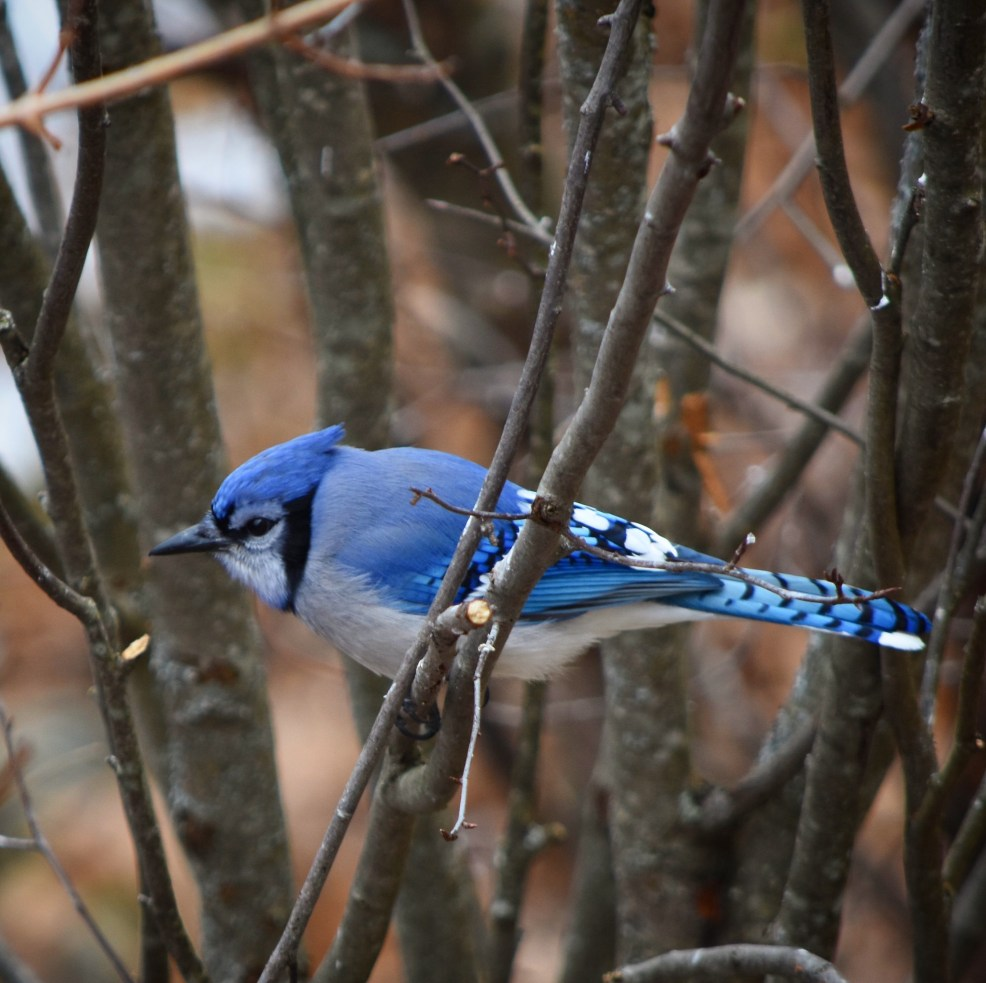 mew lake blue blue jay