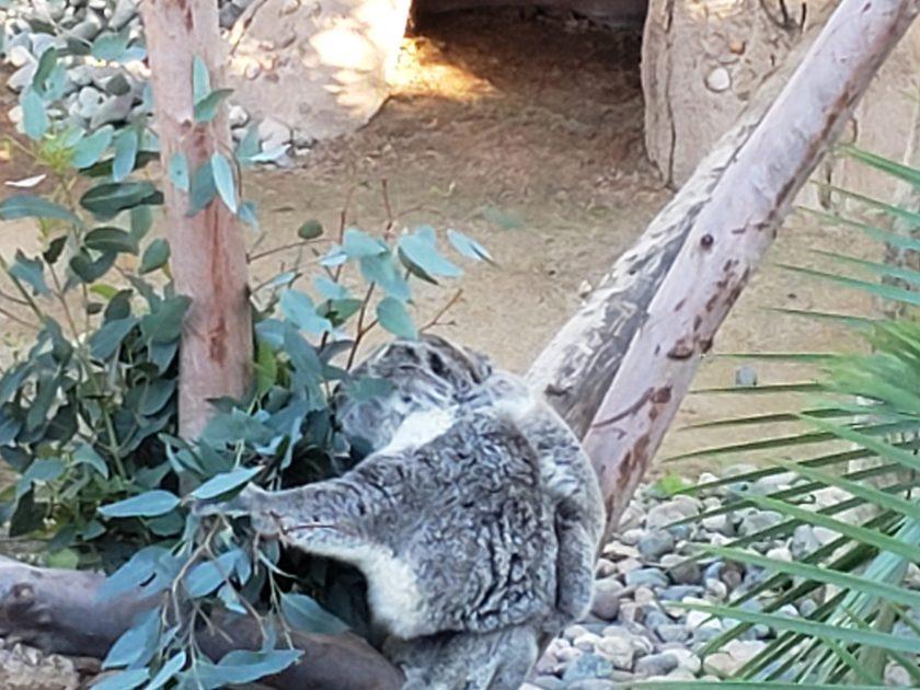 Baby Koala with mama