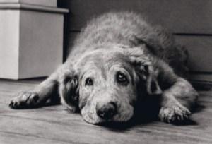 old-dog-300x205-2umtajhw4zljqtd6bls362