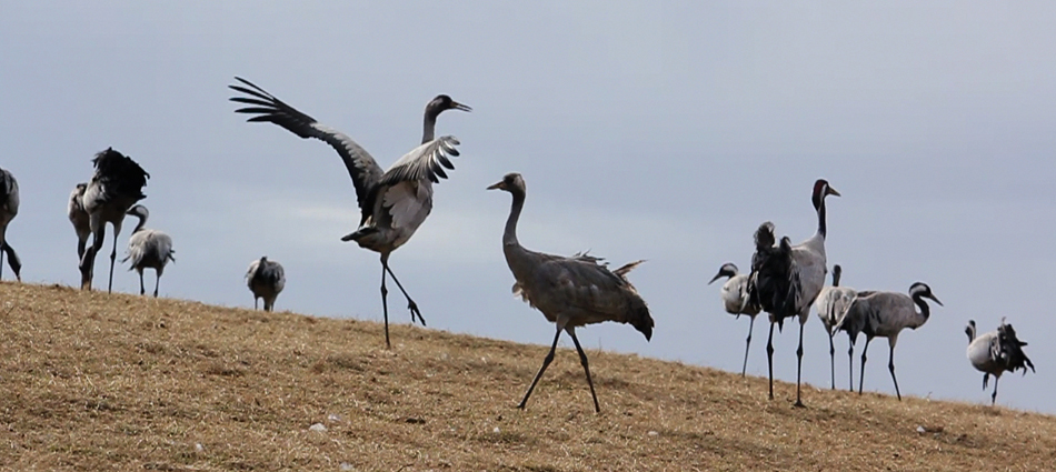 cranesTOTD