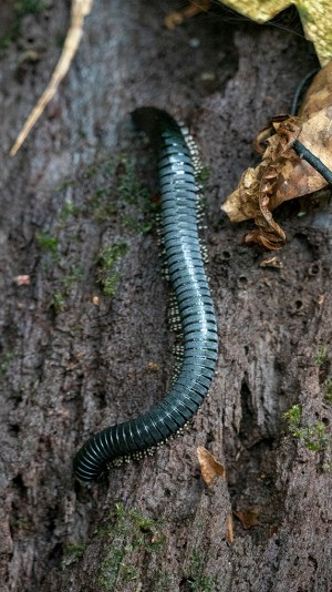 millipede2small