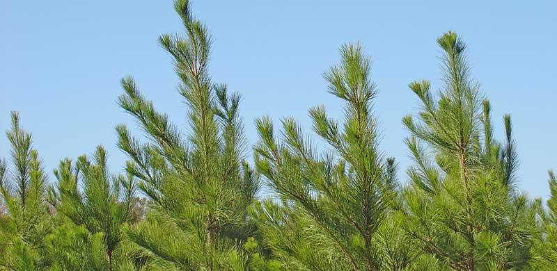 Loblolly pine plantation