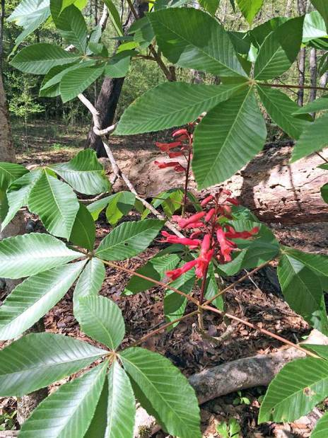 Red buckeye with flowers