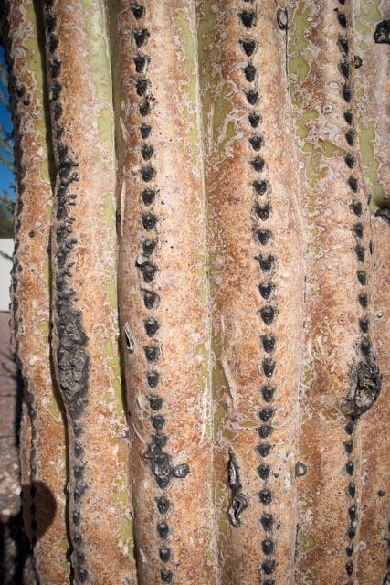 Pima cactus up close