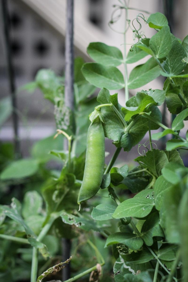 Green Peas in the Garden