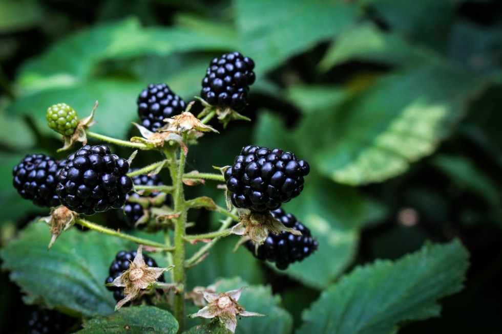 Blackberry Picking {Katie at the Kitchen Door}