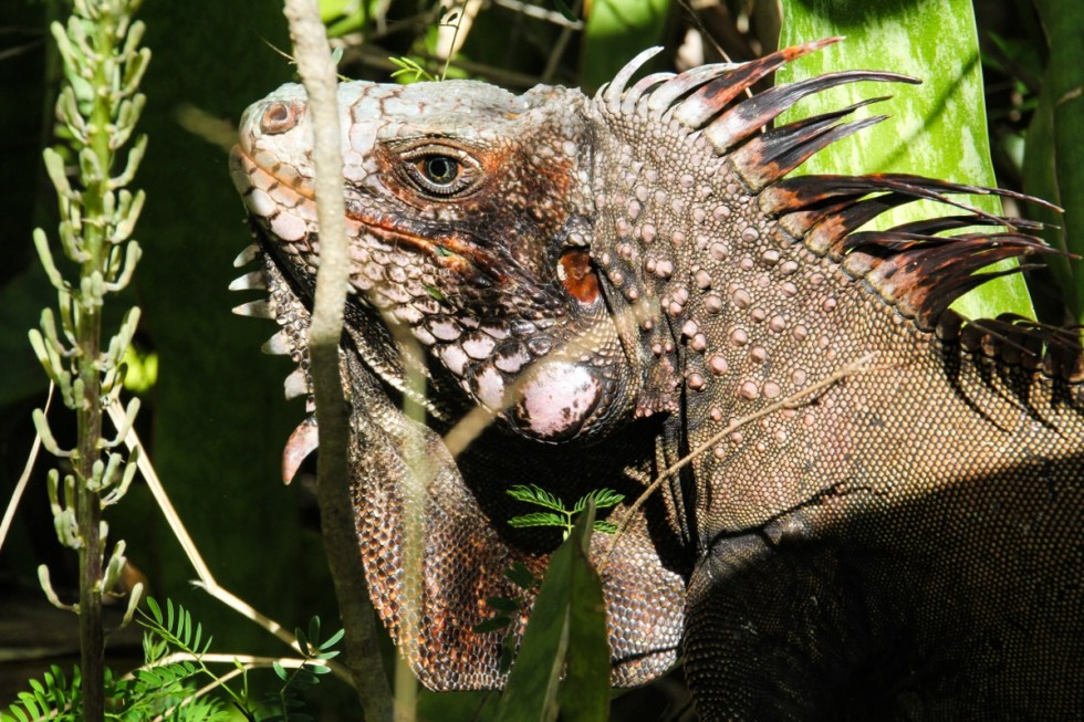 Iguana, Hiking on St. John - USVI Travelogue {Katie at the Kitchen Door}