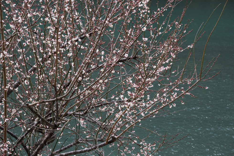 Blossoms over Arashiyama River, Kyoto {Katie at the Kitchen Door}