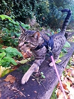 Katie's Savannah cat Tippy being taken for a walk on his flexi lead and harness