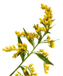 allergies-ragweed