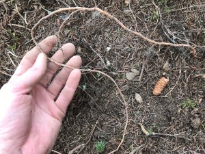 Holding a thin root